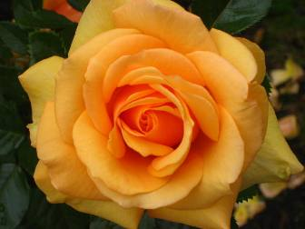orange-bead-rose.JPG